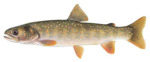 [Photo]: Bull Trout