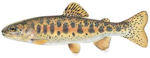 [Photo]: Redband Trout