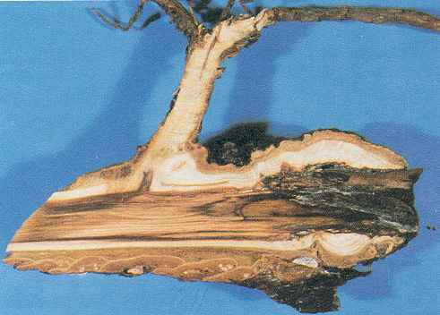 Figure 33.  Roots infected by Phaeolus schweinitzii have red stainin the center.