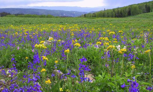 Image of a meadow filled with purple, yellow and pale pink flowers against a mountainous backdrop on the Uinta NF, Utah. Photo by Terea Prendusi.