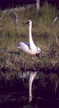 Trumpeter swan - S.Frost