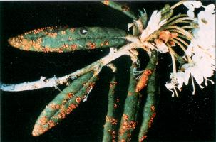 Figure 4. Only current-year needles of spruce are infected. Notice that the one-year old needles are not infected.