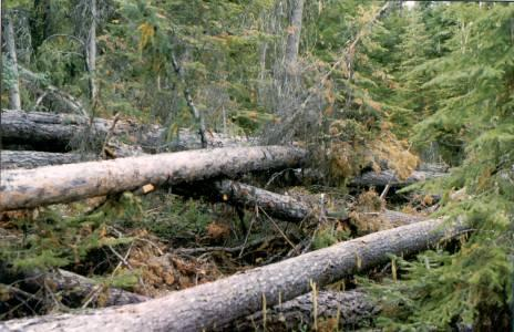 Figure 7. Windthrown trees and large diameter logging residuals - prime habitats for beetle populations.