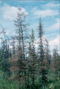Figure 1. Heavy bud moth defoliation of larch (tamarack).