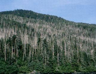 Figure 1. Stand suffering intense mortality of yellow-cedar on western Chichagof Island.