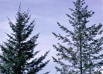 Figure 1 - The Douglas-fir on the right with sparce foliage and poor shoot growth has been infected for a number of years.