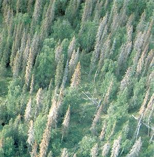 Spruce Beetle attacked forest