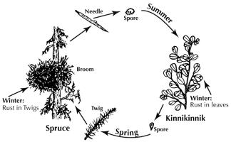 Figure 4. The life cycle of spruce broom rust requires two host plants: spruce and kinnikinnik. Fungal spores are microscopic seed-like structures. Noticeable brooms develop several years after infection.