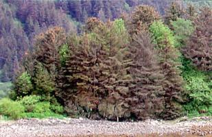 Figure 4. Defoliated Stika spruce on Mayflower Island, Douglas, Alaska. Attacked in 2000 and photographed in 2007.