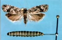Figure 4.</b> Bud moth adult and larva.