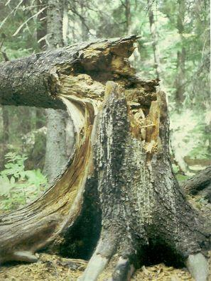 diseased tree. Source: http://www.fs.usda.gov/detail/r10/communityforests?cid=fsbdev2_038420