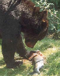 Closeup photograph of bear on shore feeding on a salmon.