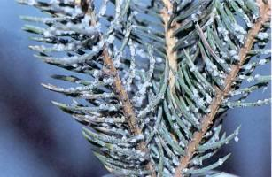 Figure 1. Woolly aphids on white spruce.