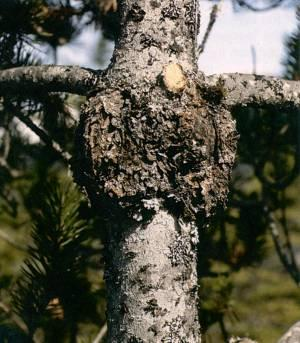 Figure 2. Gall rust on the main bole of a pine tree.