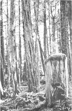 A fluted western hemlock on the Old Hollis Town site, Prince of Wales Island, Alaska
