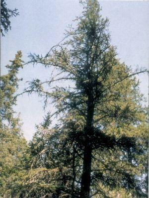 Figure 1. Thin crown of a mature spruce tree infected with tomentosus root rot.