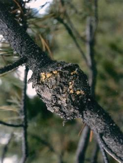 Figure 1. During spring, the rust fungus produces its infectious spores in an orange dry mass in the fissures of the pine gall.