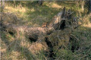 Figure 9. Uprooting of tree from decay of root system.