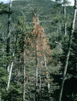 Figure 2. Dying yellow-cedar tree.