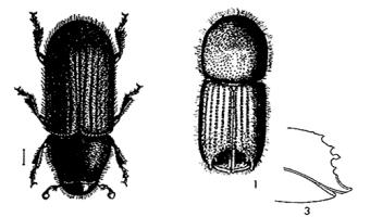 Figure 5. Spruce beetle (left) and (1) adult engraver showing declivity on posterior end (note head is not visible); and (3) side view of engraver declivity and spines.