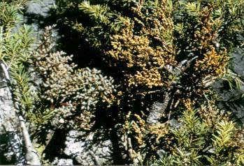 Figure 2. Aerial shoots of hemlock dwarf mistletoe: female plants with berries on the left, male plants on the right. Photo taken by Kenelm Russell, Washington State Department of Natural Resources.