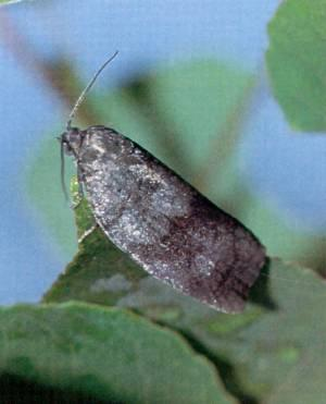 Large Aspen Tortrix Adult