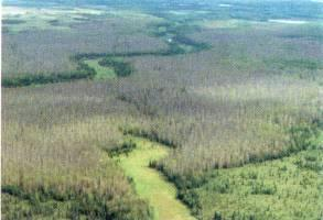 Figure 1. Defoliated aspen trees near Willow, Alaska.