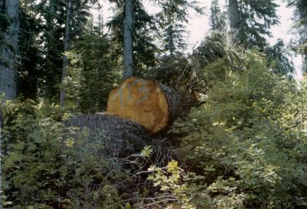 Figure 8. Green trees (trap trees) felled to capture emerging spruce beetles.