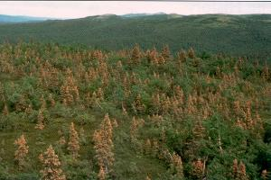 Figure 2. Some spruce stands may become heavily infected with spruce needle rust.