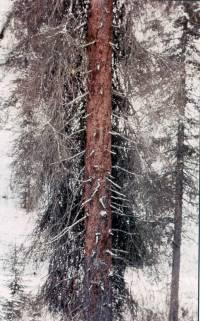 Figure 3. Infested spruce debarked by woodpeckers.