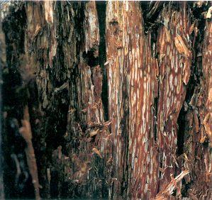 Figure 4. White pitted rot of spruce wood with advanced decay.