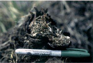 Figure 5. Characteristic honeycombed appearance of an infected root with advanced decay.