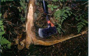 Figure 7. A young spruce tree killed by tomentosus root rot. Note the extensive stain and decay of several major roots and up the stem.