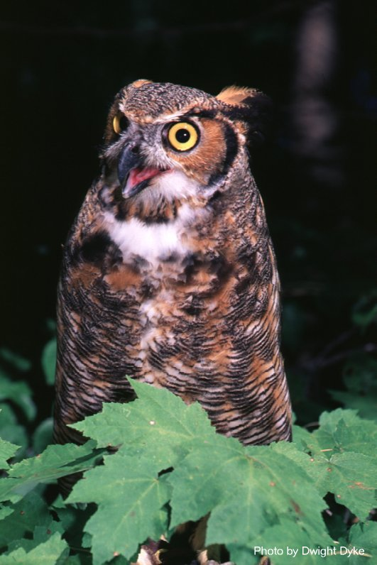Great Horned Owl photo taken by Virginia Dept. of Game and Inland Fisheries.