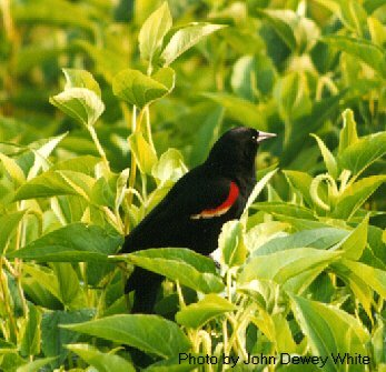 Red-winged Blackbird photo taken by Virginia Dept. of Game and Inland Fisheries.