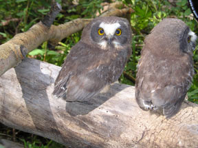 A photo of two owls