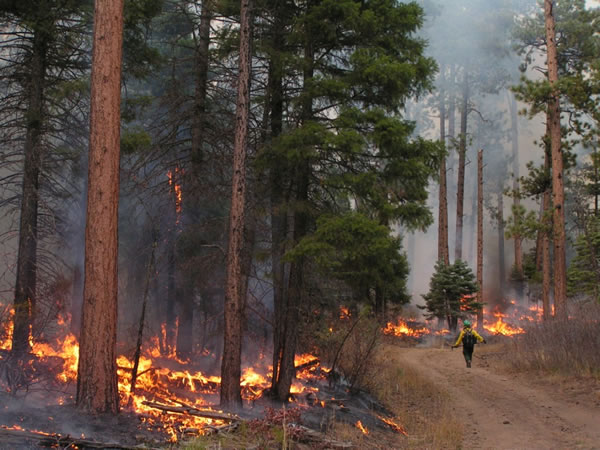 A firefighter walks down a road during a prescribed fire in the forest.