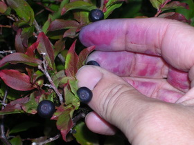 A close up photograph of hand picking huckleberries.