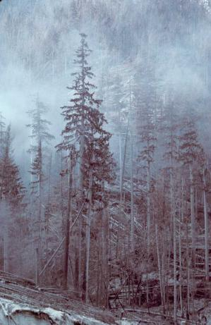 The singed needles bear witness to the 660 deg F (350 deg C) temperature of hot blast gases. Image and caption courtesy USFS. (P. Frenzen, 1980)
