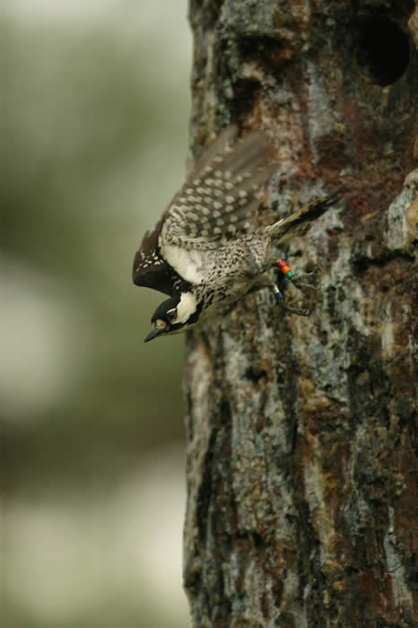 Woodpecker/Martjan Lammertink photo