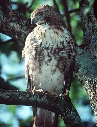 Photo/Link to the Red-tailed Hawk, Guaraguao de Cola Roja