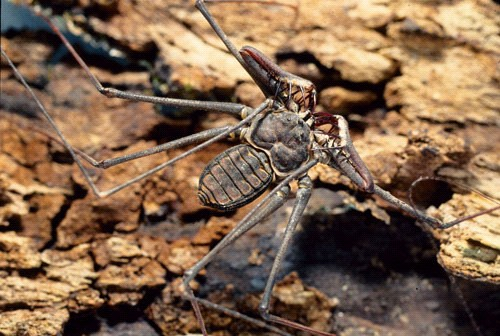 Photo of the Tailless Whip-scorpion, Guab��