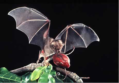 Photo/Link to the Jamaican Fruit-eating Bat/Murcia lago Frutero