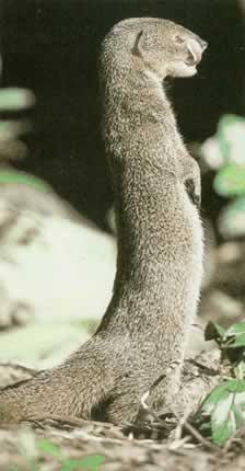 Photo of Small Indian Mongoose, Mangosta