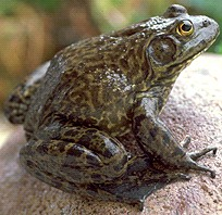 Link/Photo of the North American Bull Frog, Sapo Toro
