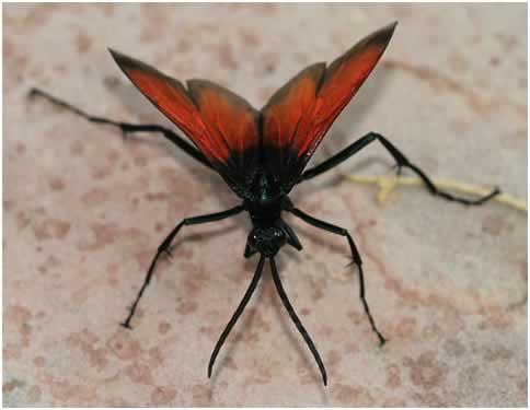 Photo/Link of the Tarantula Hawk