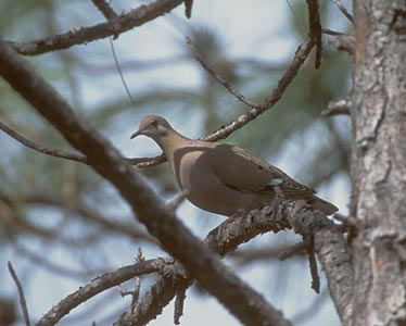 Photo/Link of the Zenaida Dove, T������rtola Cardosantera