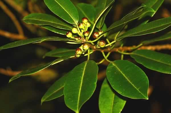 Photo of the Tabaiba, Sapium laurocerasus