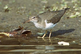 Link/Photo of Spotted Sandpiper, Playero Coleador