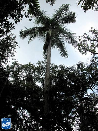 Photo/Link of the Puerto Rico Royal Palm/Palm Real Puertorriqueña